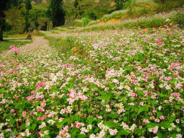 Tam Giac Mach Flower